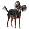 russian-toy-terrier